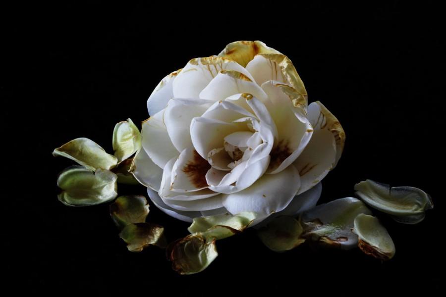 9620-camellia